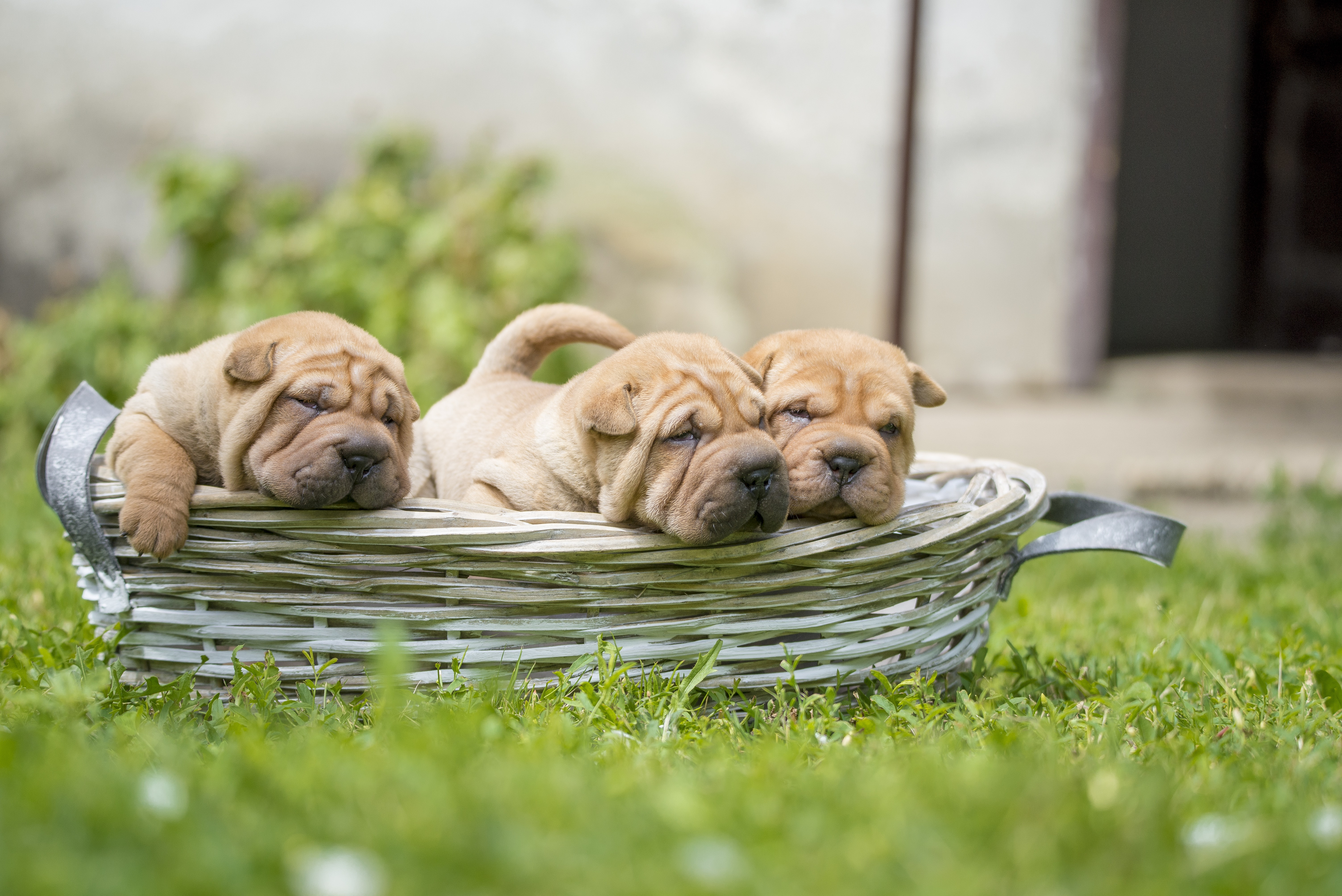 5 Things To Know About Shar Pei Puppies