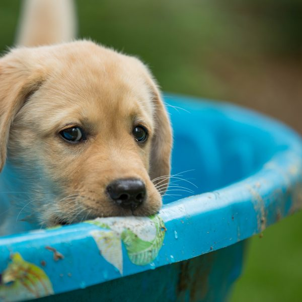 yellow lab puppy in plastic pool