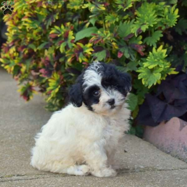 Ally - Havapoo Puppy For Sale in Pennsylvania