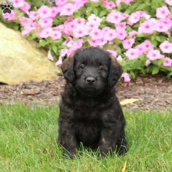 Andy, Mini Labradoodle Puppy