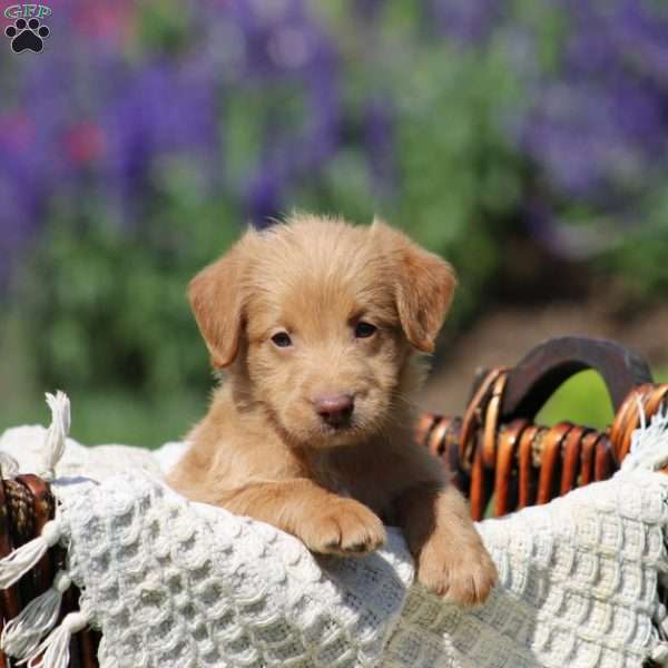Candy, Mini Labradoodle Puppy