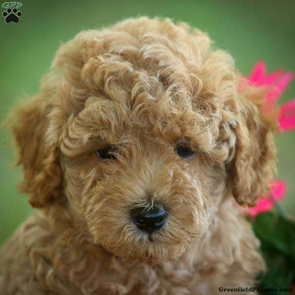 Cody Toy Poodle Puppy For Sale In Illinois
