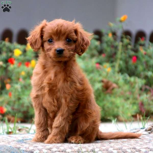Cavalier King Charles Mix Puppies For