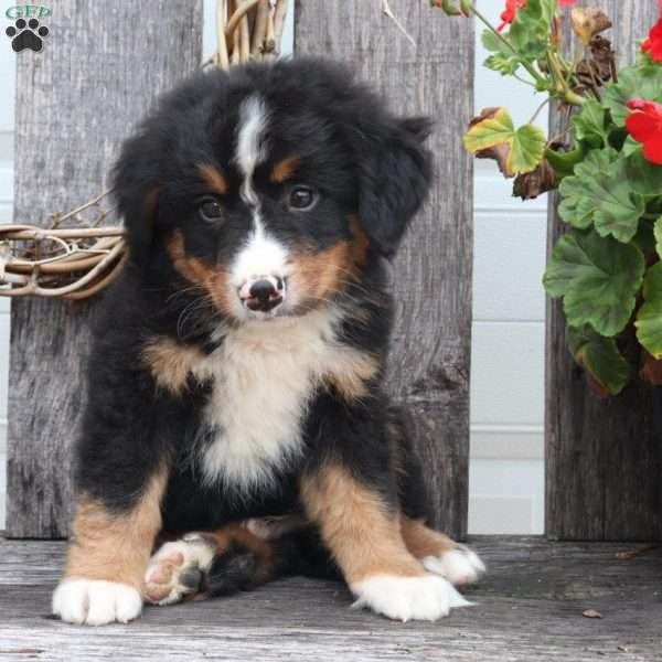 Henry Bernese Mountain Dog Puppy For Sale In Ohio