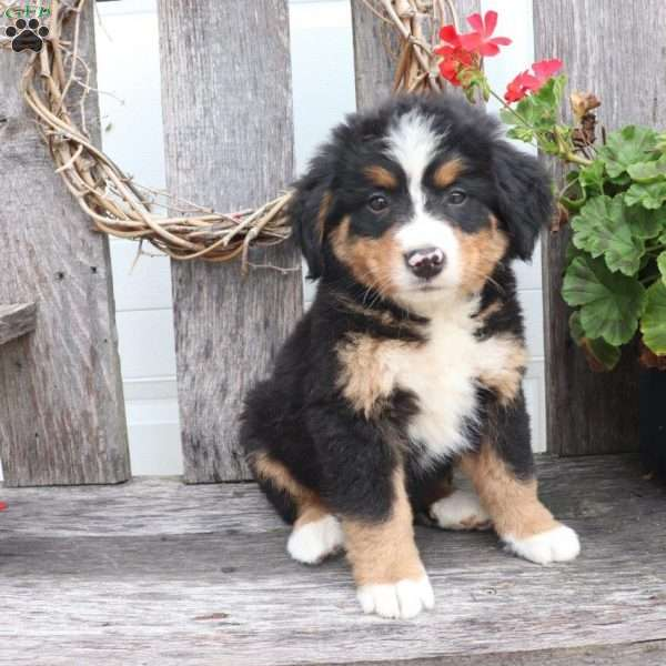 Howard Bernese Mountain Dog Puppy For Sale In Ohio