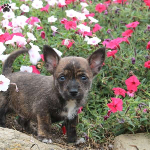 Joey, Cairn Terrier Mix Puppy
