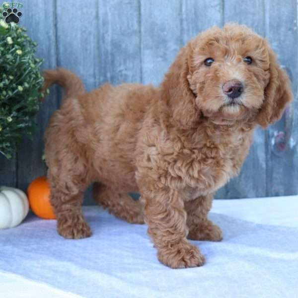 Maisey, Mini Labradoodle Puppy