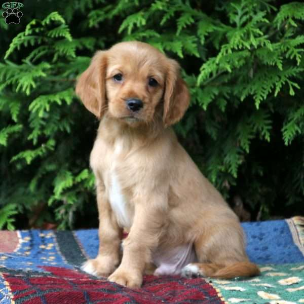 Marco - Miniature Golden Retriever Puppy For Sale in