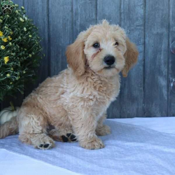Max, Mini Labradoodle Puppy