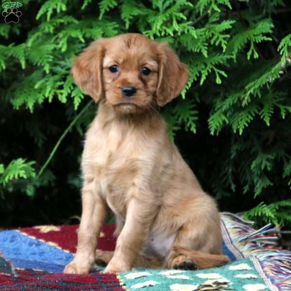 Miniature Golden Retriever Puppies For
