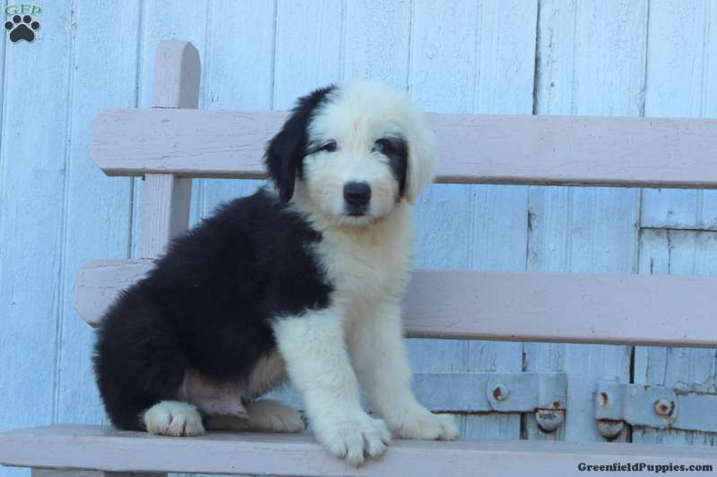 Miles - Old English Sheepdog Puppy For Sale in Pennsylvania