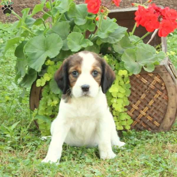 Mimi - English Springer Spaniel Puppy For Sale in Pennsylvania