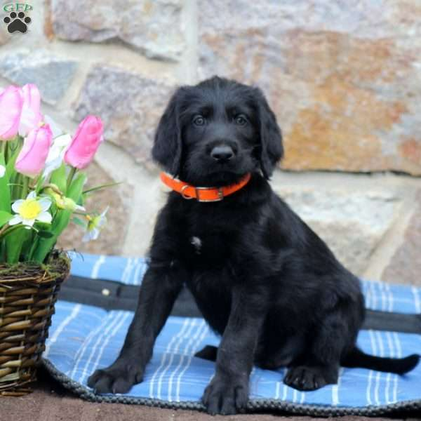 Paddington - Labradoodle Puppy For Sale in Pennsylvania