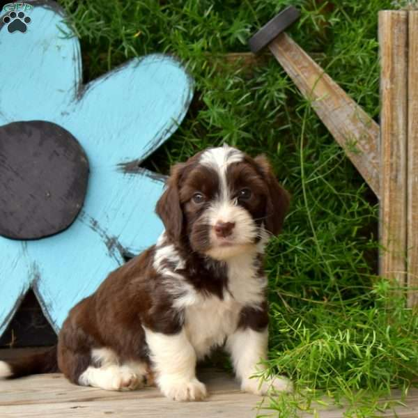 Patcher - Miniature Poodle Mix Puppy For Sale in Pennsylvania