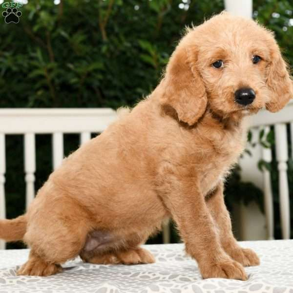 Lilly, Mini Labradoodle Puppy