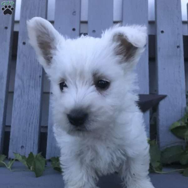 Sheba - West Highland Terrier Puppy For Sale in New York