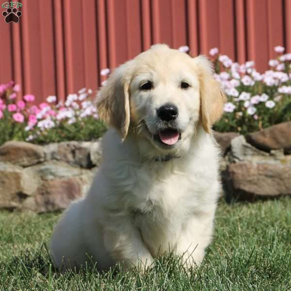 Sid - English Cream Golden Retriever Puppy For Sale in