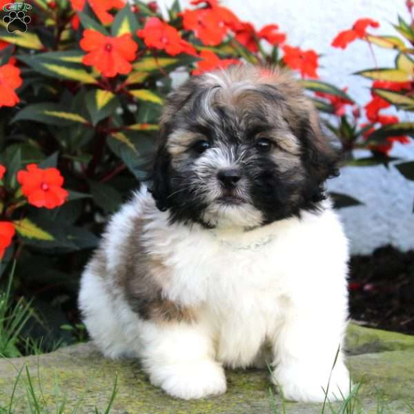 Spunky Teddy Bear Puppy For Sale In Pennsylvania