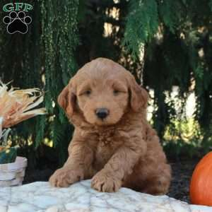 Timmy-F1b, Mini Labradoodle Puppy