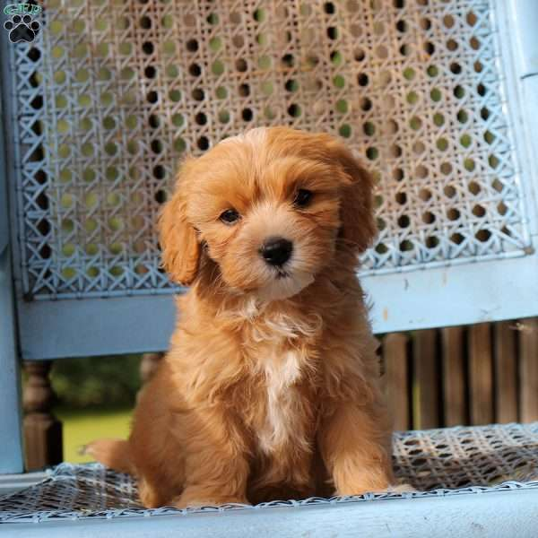 Vern - Cavapoo Puppy For Sale in Pennsylvania