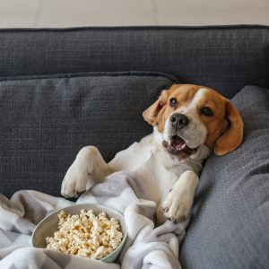 beagle laying on a couch with a blanket and popcorn