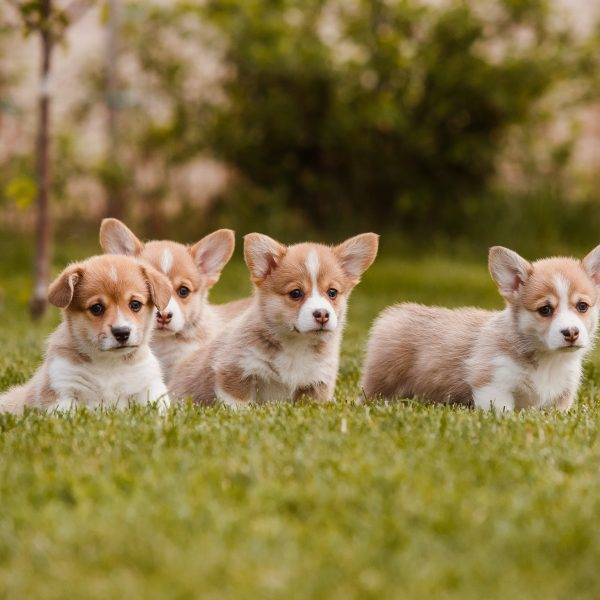corgi puppies in a yard