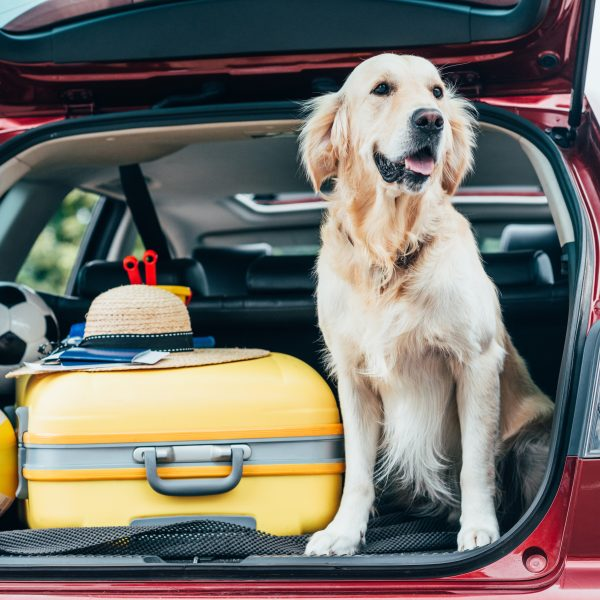 golden retriever sitting in a car trunk next to a suitcase