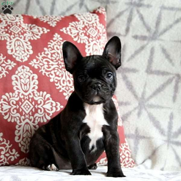 Frenchton Puppies For