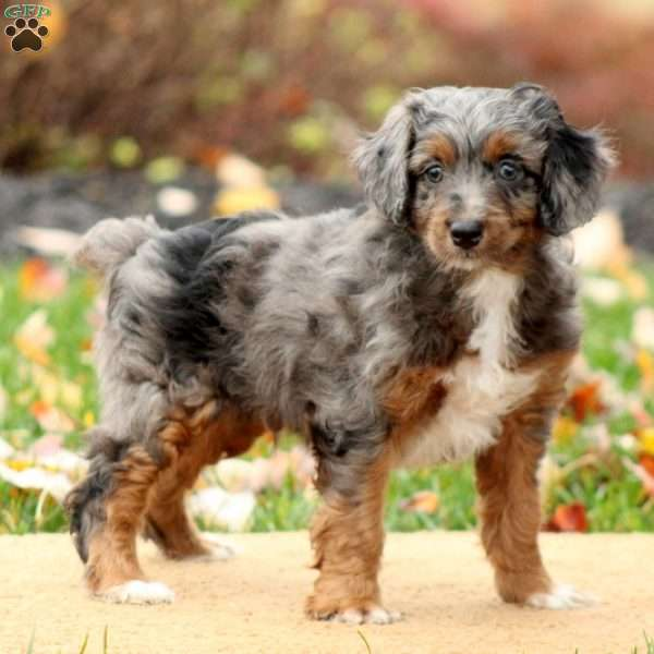 Miniature Aussiedoodle Puppies For