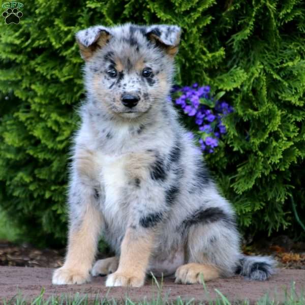 Siberian Husky Mix Puppies For