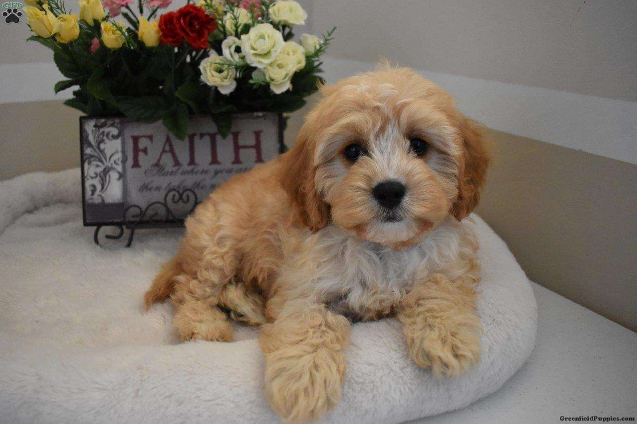 Buster - Cavapoo Puppy For Sale in Ohio