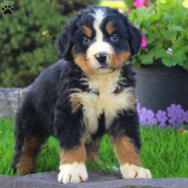 Calvin Bernese Mountain Dog Puppy For Sale In Ohio