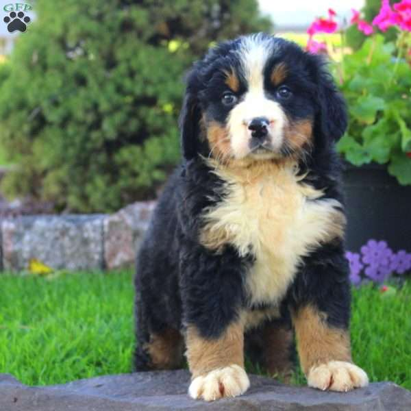 Caramel Bernese Mountain Dog Puppy For Sale In Ohio