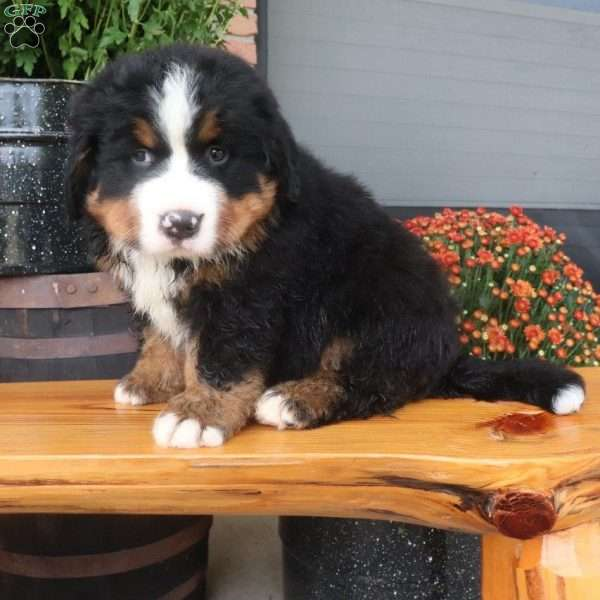 Charlie Bernese Mountain Dog Puppy For Sale In Ohio