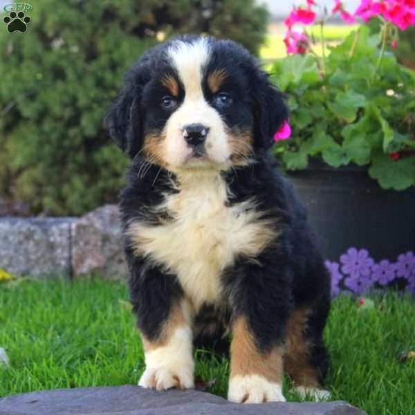 Coco Bernese Mountain Dog Puppy For Sale In Ohio