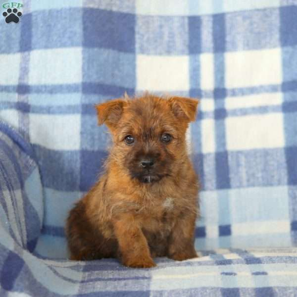 Cody, Cairn Terrier Puppy