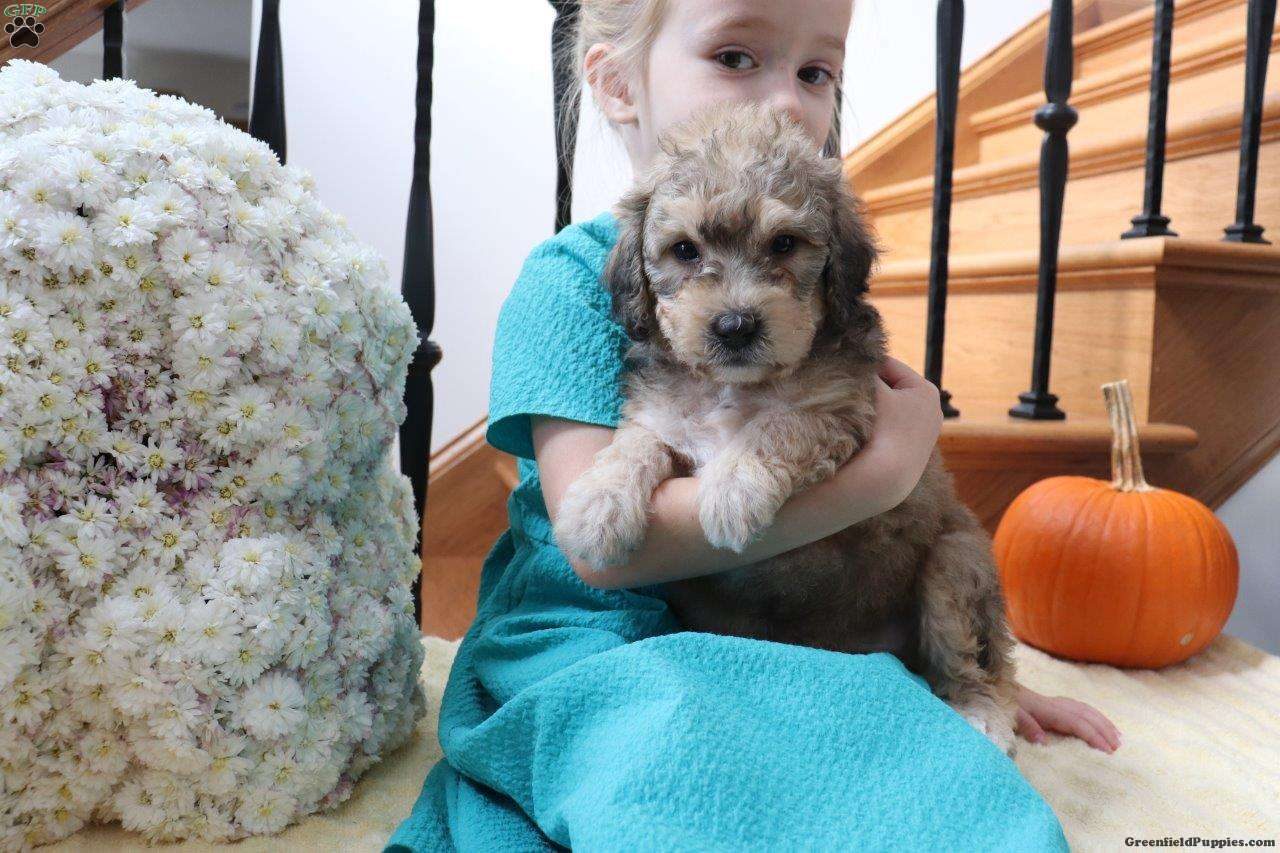 Denver Mini Bernedoodle Puppy For Sale In Ohio
