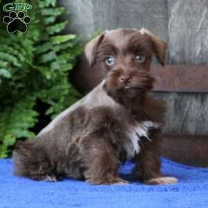 Schnoodle Puppies For Sale Greenfield Puppies