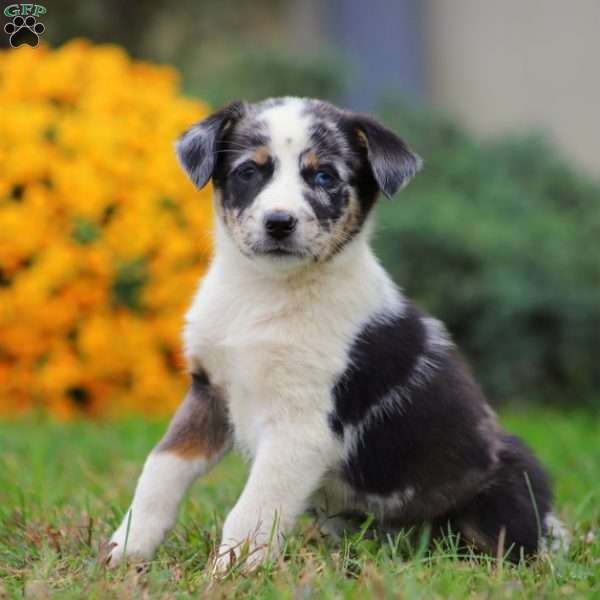Australian Shepherd Mix Puppies For