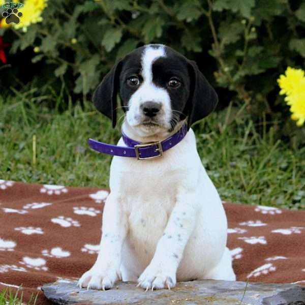 Beagle Mix Puppies For Greenfield