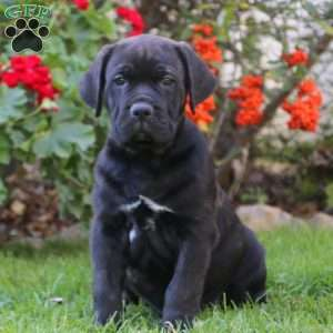 Cane Corso Mix Puppies For Sale Greenfield Puppies
