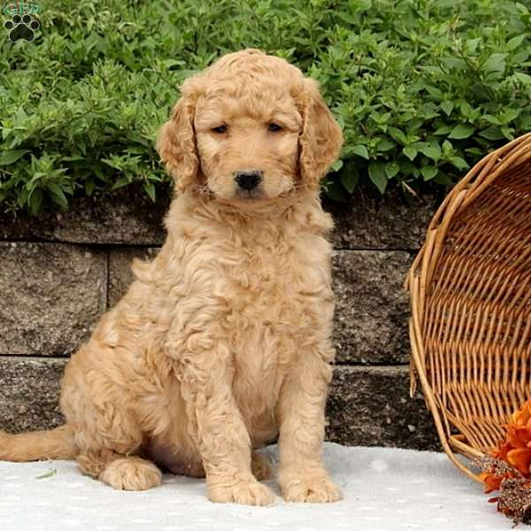 Orville, Goldendoodle Puppy