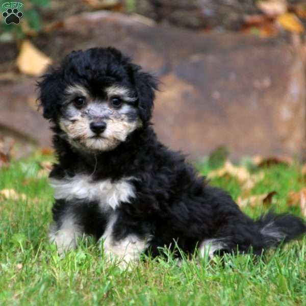 Patrick, Havanese Mix Puppy