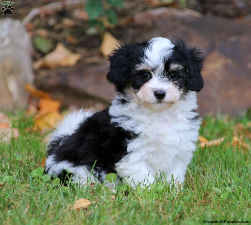 Havanese Mix Puppies For