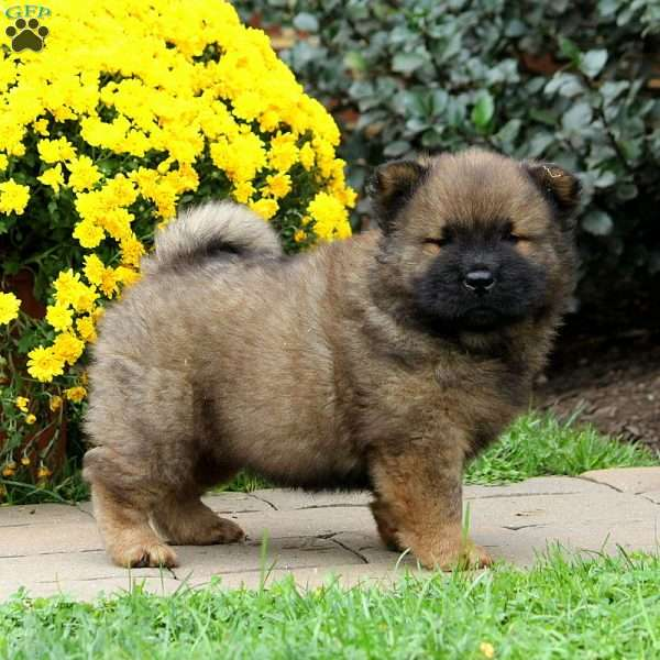 Scooter, Chow Chow Puppy