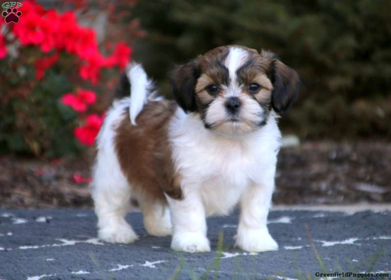 Teddy Bear Puppies For Sale Shichon Puppies Greenfield