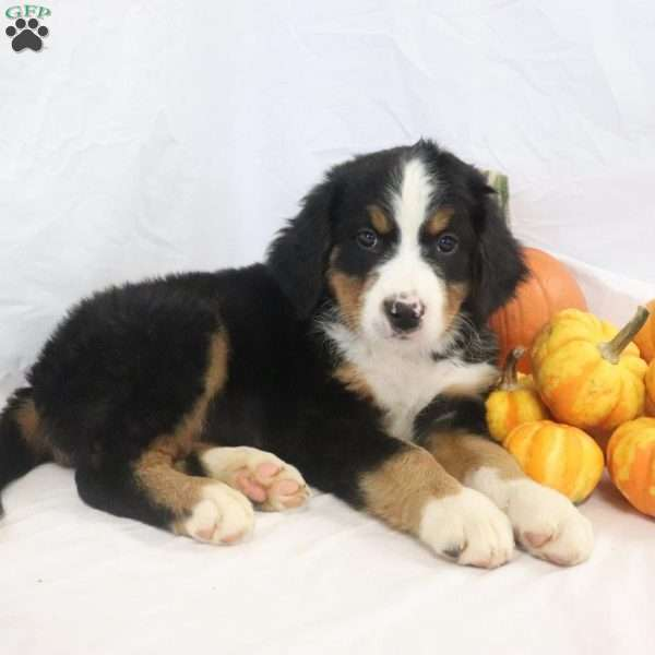 Willow Bernese Mountain Dog Puppy For Sale In Ohio