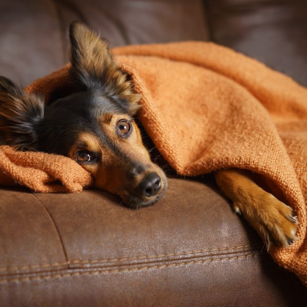black and brown shepherd mix dog lying under a blanket