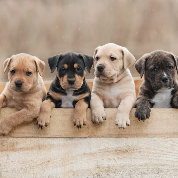 four puppies standing in a box