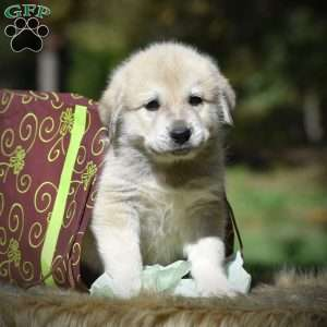 Great Pyrenees Mix Puppies For Sale Greenfield Puppies
